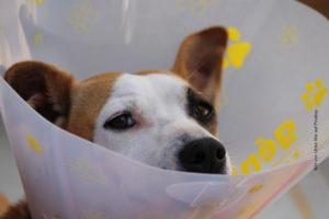 Operierter Hund