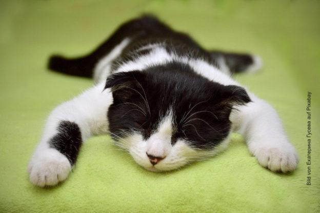 Katze träumt